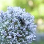 Wasp On Leek Flower