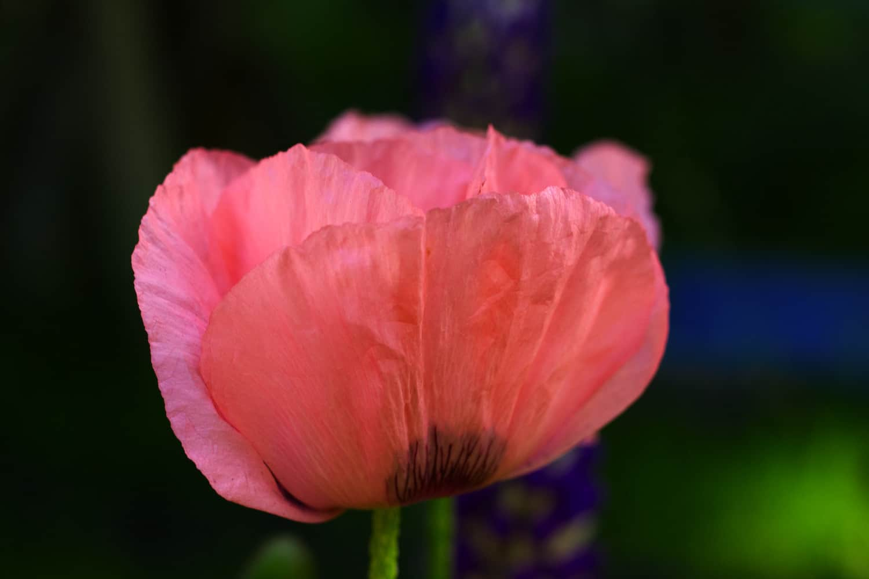 Papaver orientale (Oriental Poppy): Pastel pink poppy petals