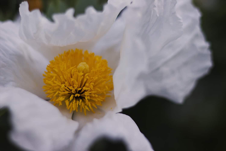 Papaver orientale (Oriental Poppy): White poppy petals