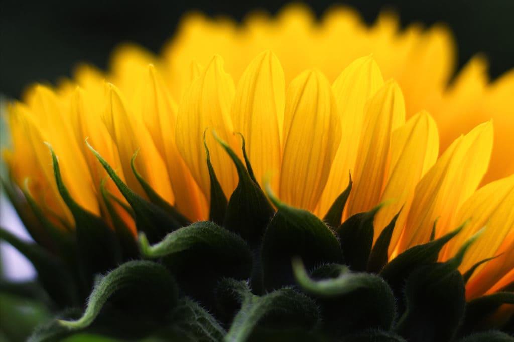 Yellow Sunflower Underside