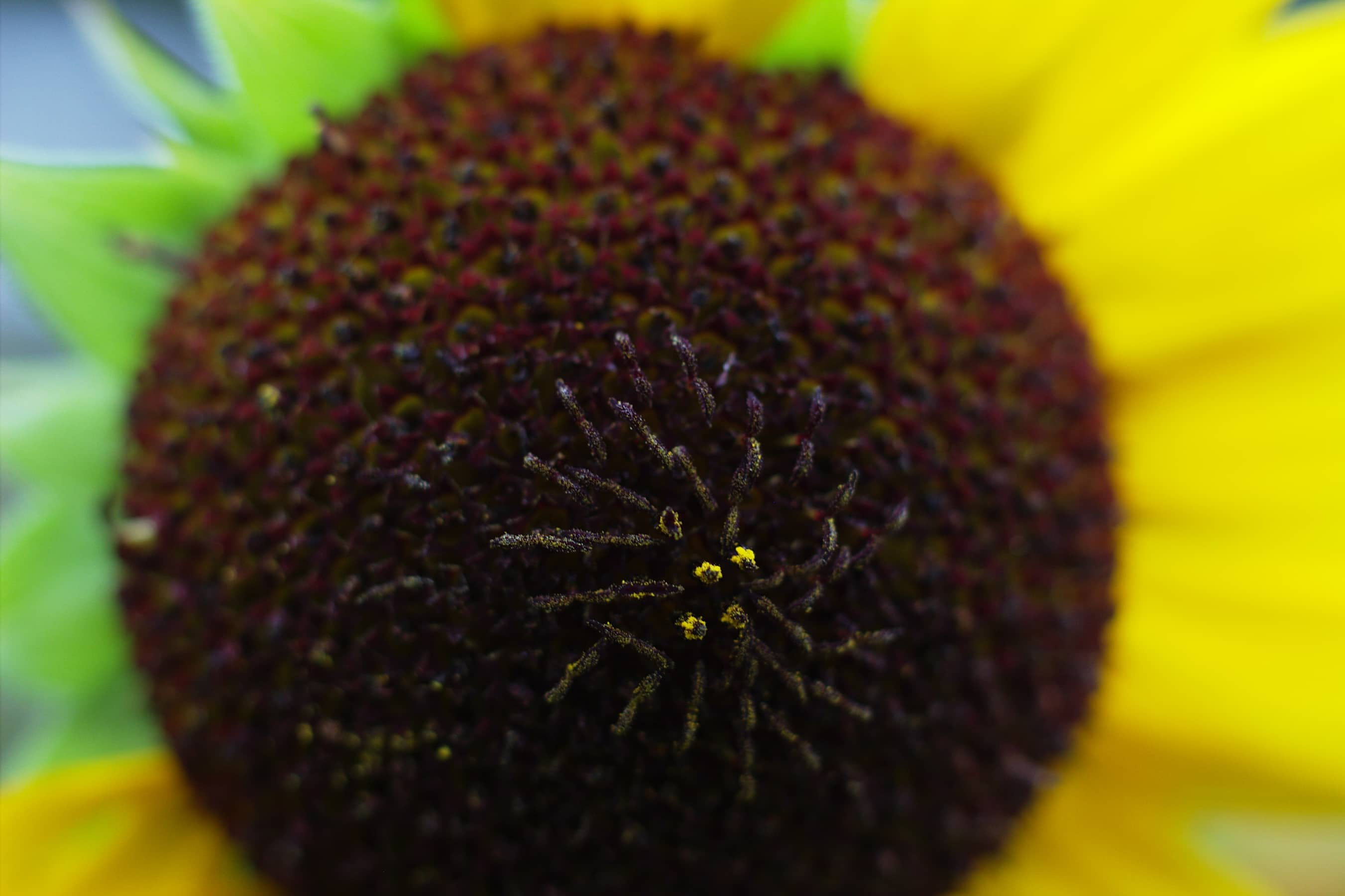 Sunflower Ovary