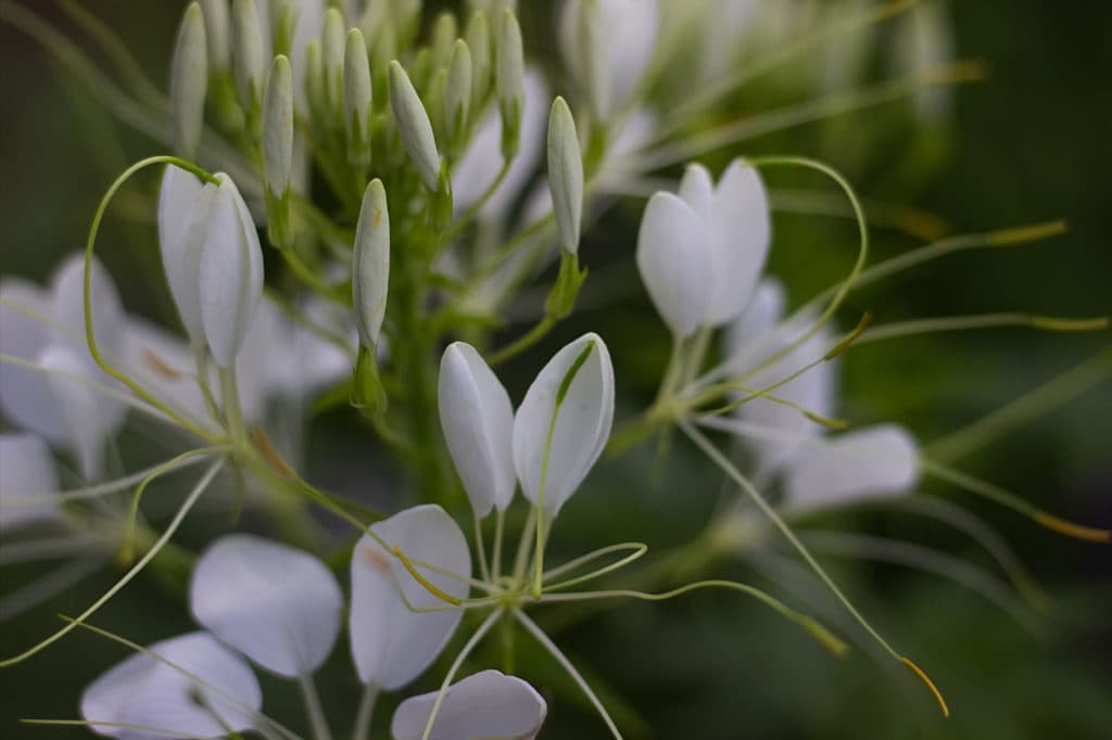 White Cleome Blossoms